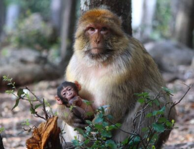 monkeys in Azrou, you will see them during our trip