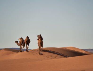 Camel ride in Erg Chebbi